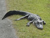 American Alligator Resting Near Road