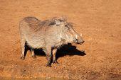 A warthog (Phacochoerus africanus), Mkuze game reserve, South Africa
