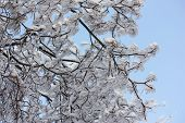 Tree branches covered with ice.