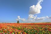 Boundless kibbutz field sown with flowers. The magnificent garden buttercups