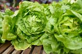 stock photo of farmer  - New lettuce on a farmer - JPG