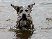 foto of blue heeler  - Blue Heeler swimming in the lake - JPG