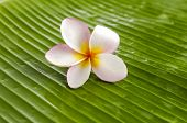 Single plumeria on banana leaf