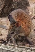 Red Wallaby