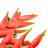 foto of heliconia  - Tropical heliconia flower  - JPG