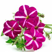 stock photo of petunia  - Pink petunia flower isolated on a white background - JPG