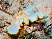 image of cebu  - Underwater inhabitants of sea depths of strait Cebu, island Maktan, sea slug ** Note: Soft Focus at 100%, best at smaller sizes - JPG