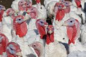 Flock of Turkey