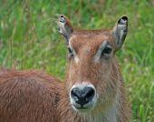 Waterbuck close-up