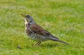 image of brown thrush  - thrush outdoor  - JPG