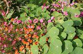 picture of nasturtium  - Nice flower - JPG