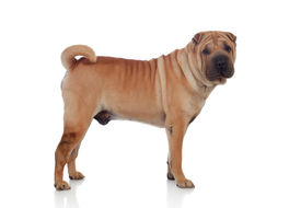 picture of sharpie  - Beautiful SharPei Dog Breed isolated on a white background - JPG