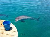picture of dolphins  - Wild dolphin is looking at bucket with hope to get food at Eilat, Dolphin beach, Israel. Researchers usually feed wild dolphins there.