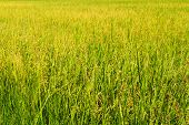 Yellow Paddy Rice In Field