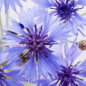 The Beautiful Cornflower