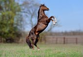 pic of horse-breeding  - Beautiful stallion Thoroughbred breed - JPG