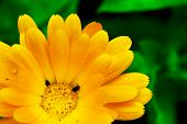 Beautiful yellow Gerbera flower with two tiny black bugs. Beauty of nature