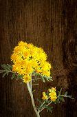 Yellow Flowers Cineraria Silver Dust Dark Rough Wood Background