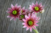 Blooming Sempervivum Calcareum Flowers, Hens And Chicks Plant