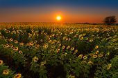 Glowing Sunflowers At Sunset