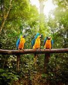 Exotic travel concept background - Blue-and-Yellow Macaw (Ara ararauna), also known as the Blue-and-