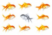 Group of goldfish with one fish swimming the opposite way, isolated on white. Different way in busin