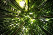 pic of bamboo forest  - Bamboo forest in Damyang South Korea taken during summer - JPG