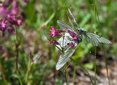 Two Black-veined White Butterflies On A Purple Flower