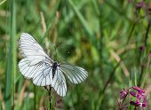 Two Black-veined White Butterflies On One Flower