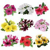 Set Of Multicolored Petunias