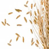 Border of Spikelets and Grains of Wheat ears isolated on a White Background