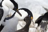 Male And Female Blue-eyed Antarctic Cormorant That Feeds The Chick