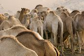 UAE, Dubai, camels feeding at a farm in the desert outside of Dubai