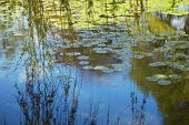 Willow Branches Over Lily Pad Covered Pond