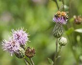 Honey Bee on Purple Thistle. Close-up Macro.