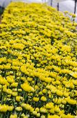 Inside Greenhouse Of Yellow Chrysanthemum Flowers Farms