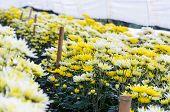 Chrysanthemum Morifolium Flowers Farm