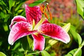 Blooming Lilium In The Garden