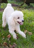 foto of poodle  - Playful poodle dog in green grass in garden