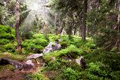 Old forest in the mountain -   stones, moss, sunbeams and pine trees. Carpathian, Ukraine