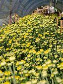 Buds Of Yellow Chrysanthemum Morifolium Flowers In The Garden