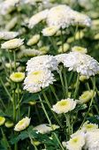 White Chrysanthemum Morifolium Flowers In Garden