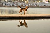 Dog at lake in holy city of Pushkar, India