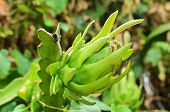 picture of dragon fruit  - Dragon fruit on a tree in farm show agriculture concept - JPG