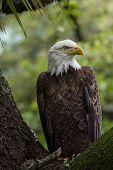 Perched American Bald Eagle