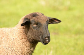 picture of suffolk sheep  - Suffolk lambs in a spring Oregon pasture - JPG