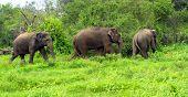 Three Elephants on the island of Sri Lanka