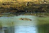 Crocodile submerged in water