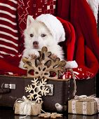 Siberian Husky a Santa Claus hat and present