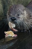 North American river otter (Lontra canadensis) eating chicken.